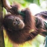 Orangutan Harus Tiap Hari Naik Bus Karena Ikuti Sekolah