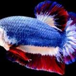 Demi Ikan Cupang