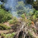 Polisi Musnahkan 6 Hektare Ladang Ganja Berusia 3 Bulan di Bireun Aceh